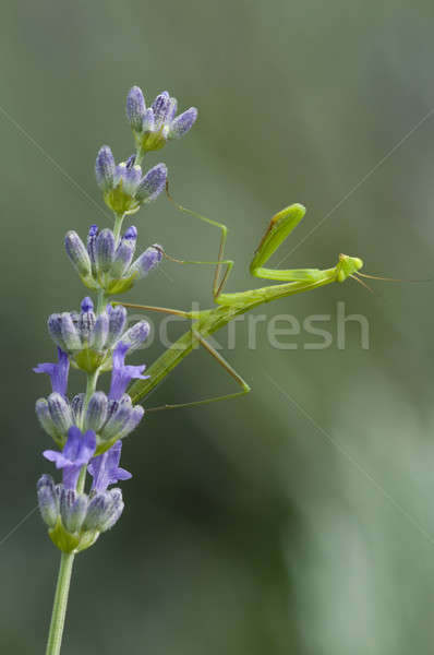 Male praying mantis  Stock photo © AlessandroZocc
