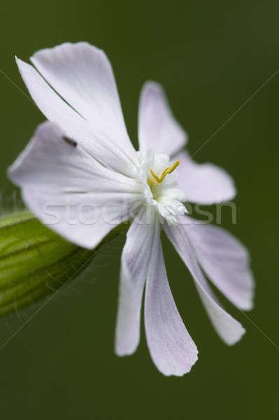 Branco flor-de-rosa flor primavera fundo planta Foto stock © AlessandroZocc