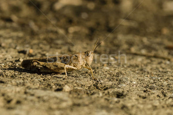 Brown cricket camouflage  Stock photo © AlessandroZocc