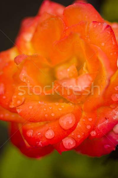 Czerwony pomarańczowy wzrosła kwiat kroplami wody selektywne focus Zdjęcia stock © AlessandroZocc