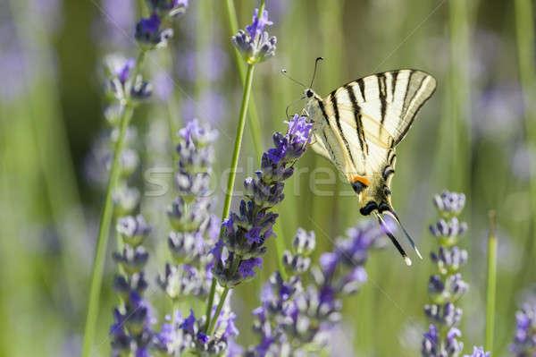 Scarce Swallowtail (Iphiclides podalirius) butterfly Stock photo © AlessandroZocc