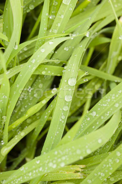 Dew drops on blades of green grass  Stock photo © AlessandroZocc