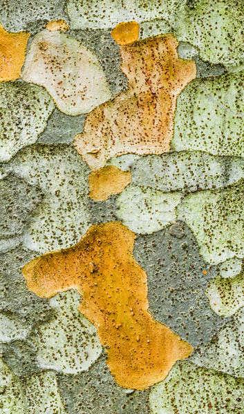 ツリー 樹皮 詳細 落葉性の 工場 ニレ ストックフォト © AlessandroZocc