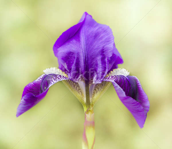Blue and purple iris flowers Stock photo © AlessandroZocc