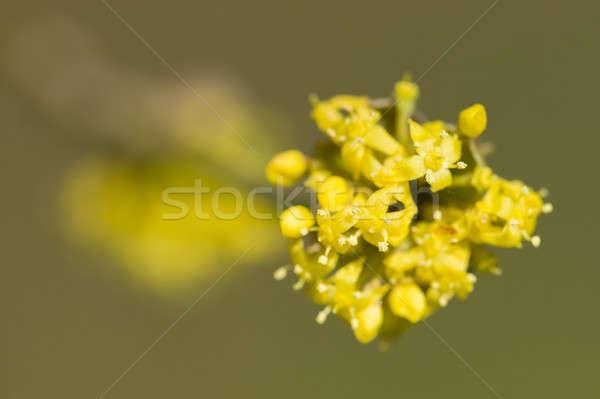 Cornus mas, Cornelian cherry, European cornel, dogwood yellow fl Stock photo © AlessandroZocc