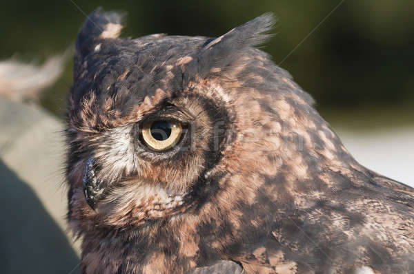 American owl, Bubo virginianus, with yellow eyes Stock photo © AlessandroZocc