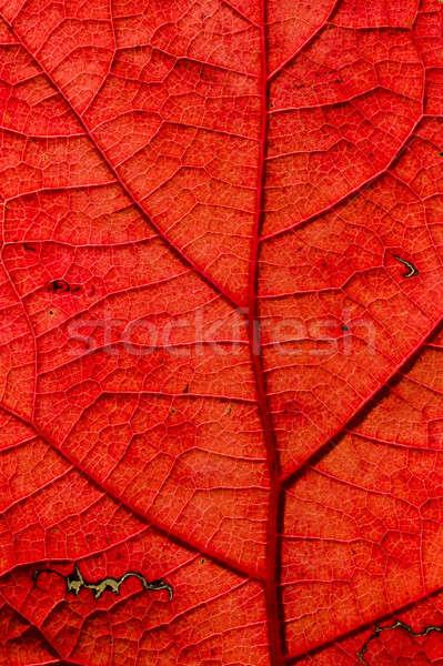 Blad detail achtergrondverlichting najaar Stockfoto © AlessandroZocc
