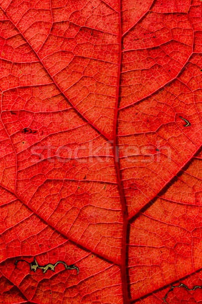 Autumnal leaf  Stock photo © AlessandroZocc