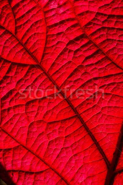 葉 詳細 バックライト 赤 秋 ストックフォト © AlessandroZocc