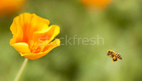 Háziméh repülés citromsárga narancs pipacs vad virágok Stock fotó © AlessandroZocc