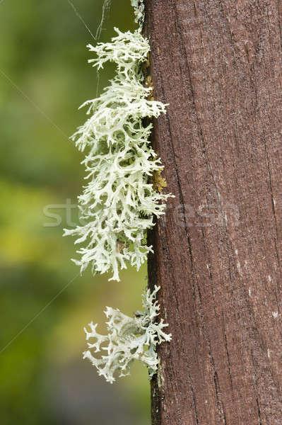 Szürke növekvő fa kő fa zöld Stock fotó © AlessandroZocc