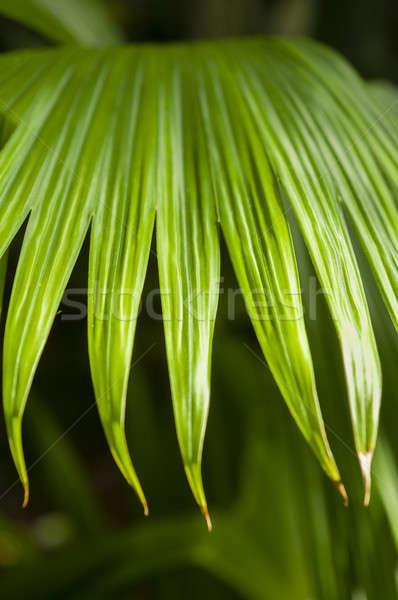 Panama kalap pálma növény használt sapkák Stock fotó © AlessandroZocc