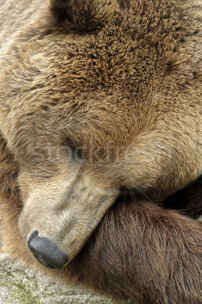 male brown bear  Stock photo © AlessandroZocc