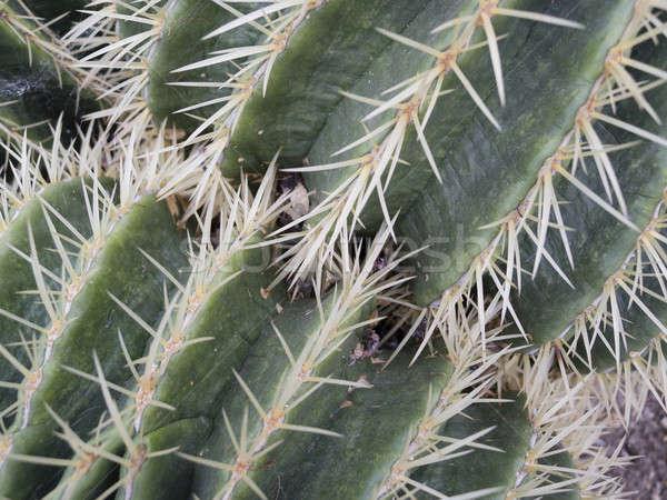 Nedvdús növény kert sivatag zöld labda Stock fotó © AlessandroZocc