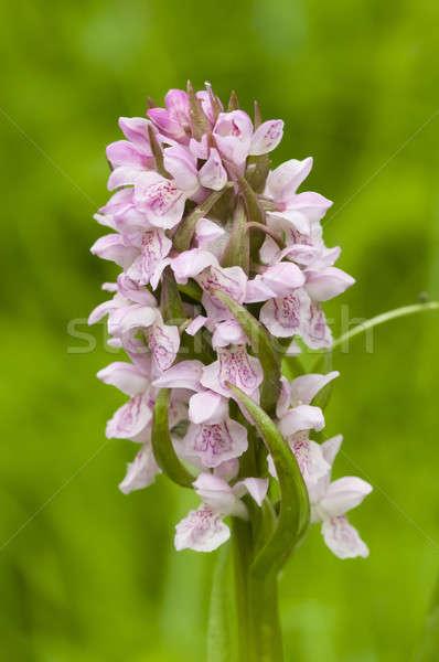 Wild European orchid  Stock photo © AlessandroZocc