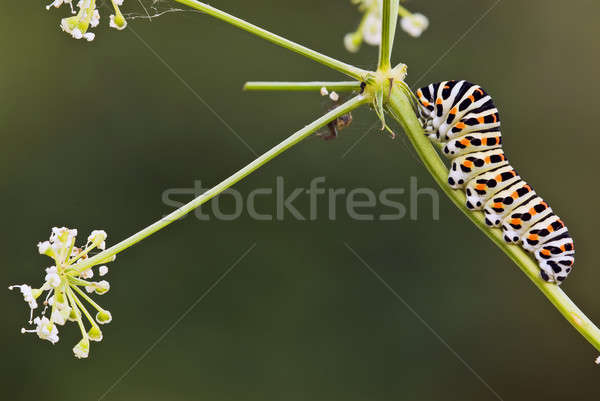 Caterpillar of Swallow Tail Butterfly Stock photo © AlessandroZocc