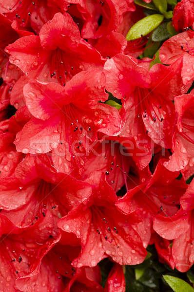 Red azalea flowers Stock photo © AlessandroZocc