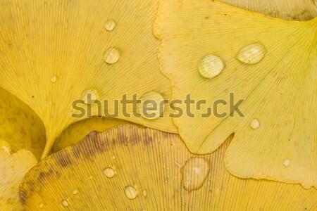 Dode blad Geel bruin kleuren Stockfoto © AlessandroZocc