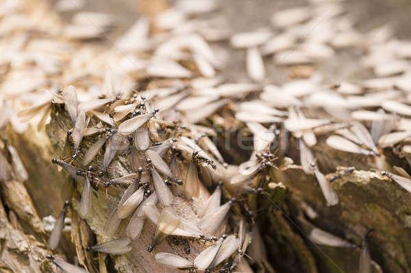 Bielec europejski wiosną drewna charakter Zdjęcia stock © AlessandroZocc