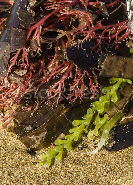 Renkli alg farklı renkler plaj Stok fotoğraf © AlessandroZocc