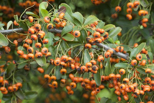 Orange Berries Of Ornamental Bush Stock Photo C Alessandro Zocchi