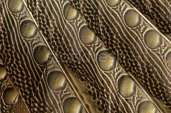 羽 オーストラリア人 鳥 自然 背景 羽毛 ストックフォト © AlessandroZocc