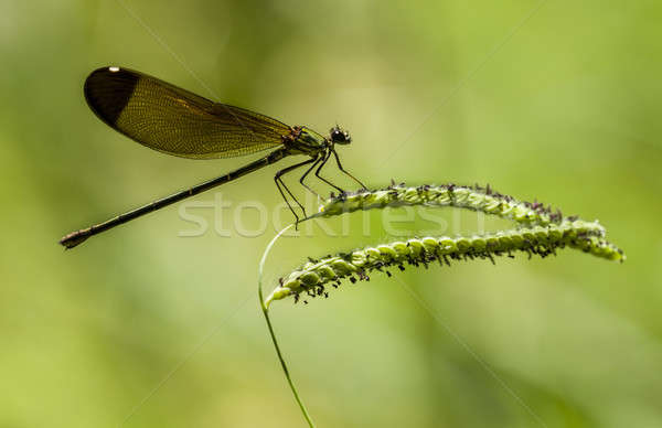 Female damselfly perched on a stick  Stock photo © AlessandroZocc