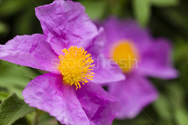 Rock rose pink flowers Stock photo © AlessandroZocc
