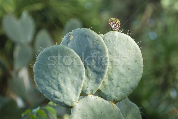 Prickly pear plant Stock photo © AlessandroZocc
