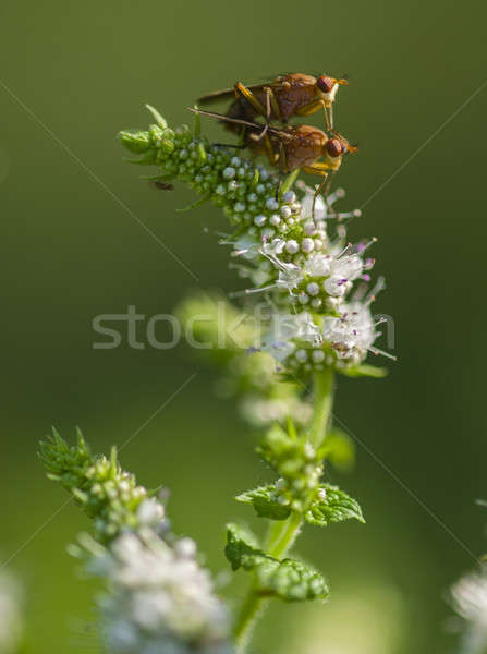 Tiny flies mating on flowers Stock photo © AlessandroZocc