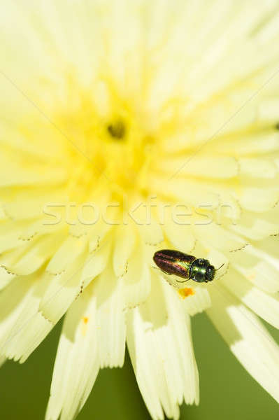 Insecte fleur jaune faible pissenlit fleur Photo stock © AlessandroZocc