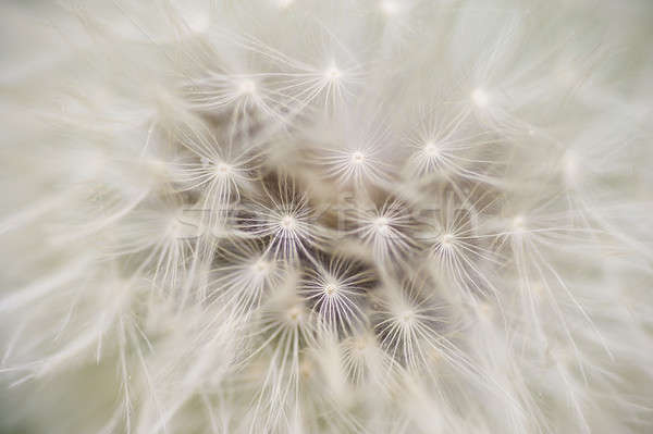 Dandelion seed cap ready to fly away,  Stock photo © AlessandroZocc