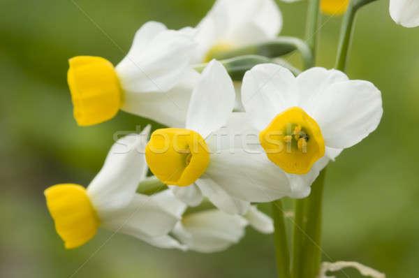 Citromsárga fehér nárcisz virágok tele virágzik Stock fotó © AlessandroZocc