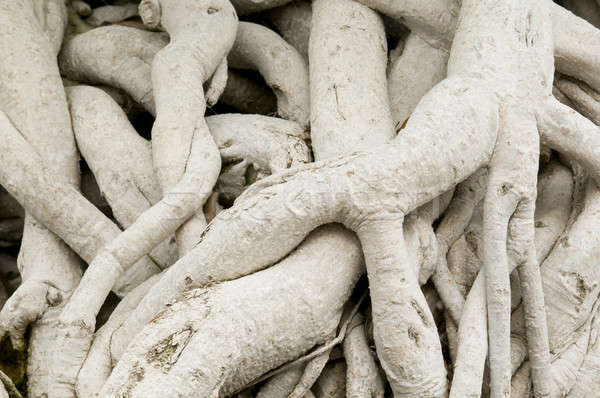 Close-up of roots of Ficus retusa, or Ficus microcarpa, also known as Cuban-laurel Stock photo © AlessandroZocc