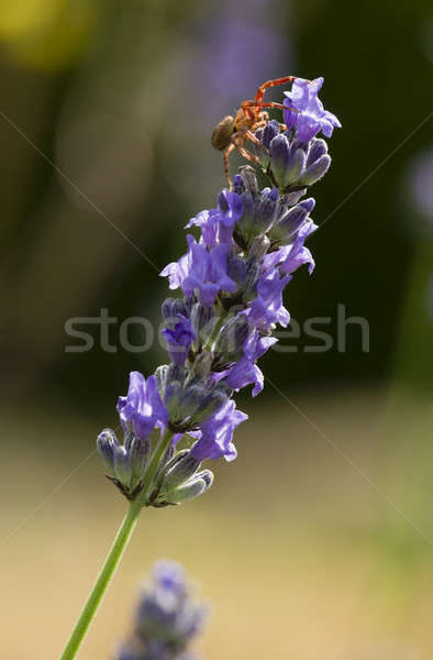 краба Spider цветок лаванды природы лет Сток-фото © AlessandroZocc