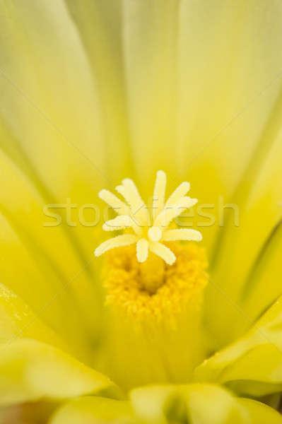 Thelocactus setispinus, Hedgehog cactus Stock photo © AlessandroZocc