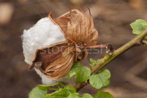 Stock fotó: Pamut · védtelen · virág · rügy · növény · fajok