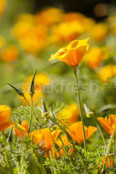 Eschscholzia californica, yellow and orange poppy wild flowers. Stock photo © AlessandroZocc
