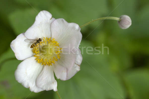 Syrphid bee  on Eglantine (Rosa canina) flower Stock photo © AlessandroZocc