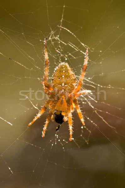 Kereszt pók háló eszik rovar zsákmány Stock fotó © AlessandroZocc