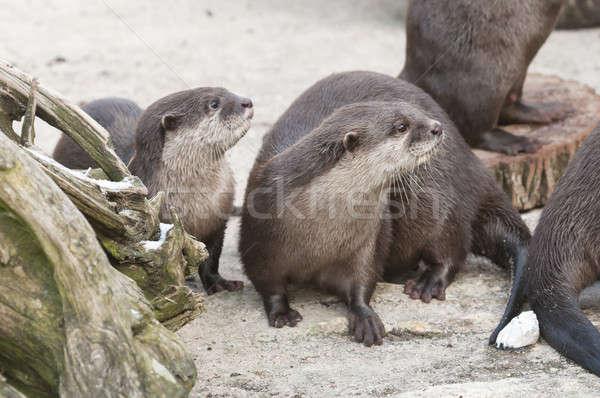 European Otter (Lutra lutra), Eurasian river otter, common otter Stock photo © AlessandroZocc