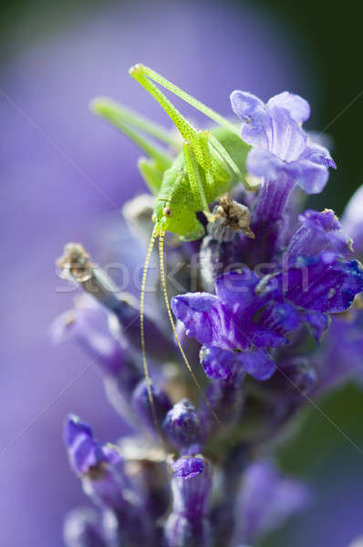Sauterelle lavande fleurs vert fond Photo stock © AlessandroZocc