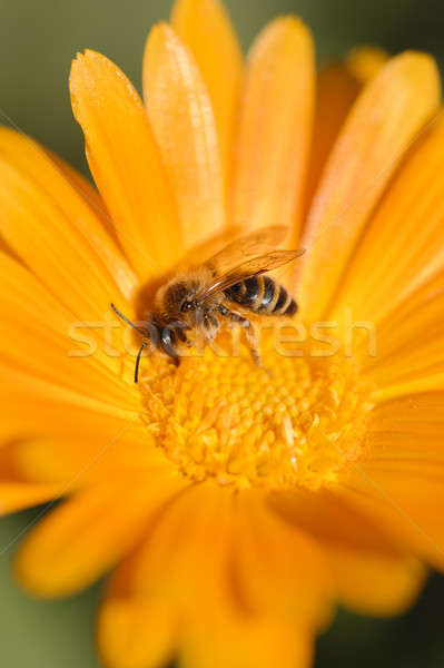 пчелиного меда нектар пыльца оранжевый Daisy Сток-фото © AlessandroZocc