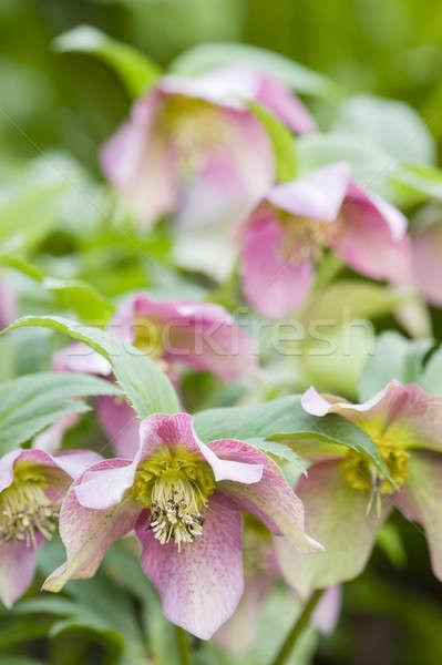 Cornus pink flowers Stock photo © AlessandroZocc