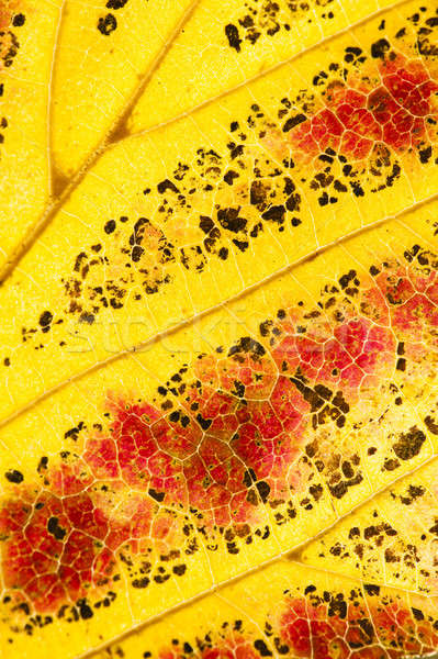 Parrotia persica tree leaves in autumn, commonly called Persian  Stock photo © AlessandroZocc