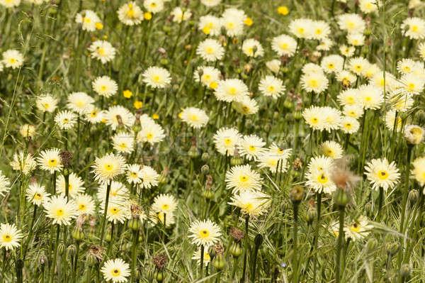 Paardebloem gele bloemen vol bloeien gras tuin Stockfoto © AlessandroZocc
