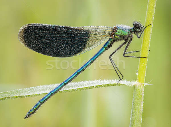 Damselfly covered with dew drops  Stock photo © AlessandroZocc