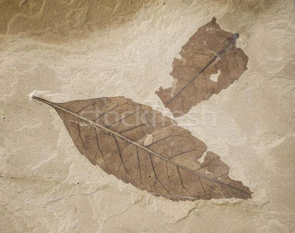 Kettő kövület levelek mészkő természet padló Stock fotó © AlessandroZocc