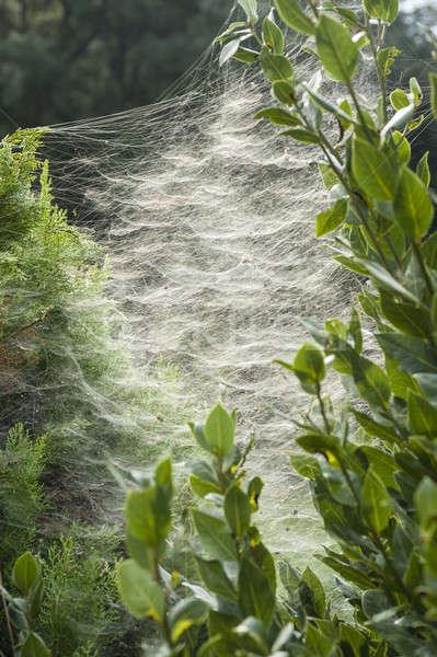 Mehrere Spinnennetz groß Bau Natur Web Stock foto © AlessandroZocc