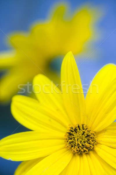 Jerusalem artichoke, topinambour flower detail Stock photo © AlessandroZocc
